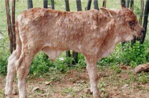 В Оренбурской области выявлено два очага нодулярного дерматита