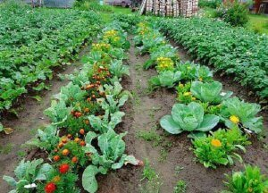 Сочетание растений на грядке
