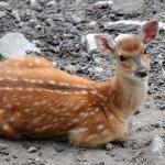На острове Сахалин начали разводить пятнистых оленей