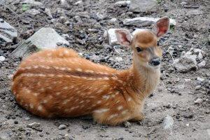 Пятнистых оленей начали равзодить на Сахалине