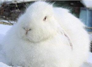 Российская порода белая пуховая