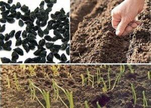 Посев лука-чернушки