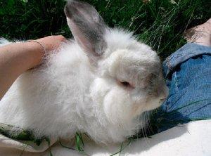 Особенности кормления пуховых кролей