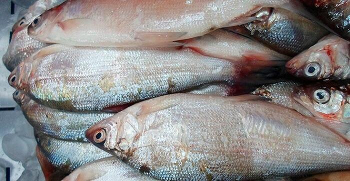 рыба пелядь описание фото