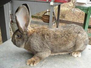 Большой кролик породы бельгийский великан