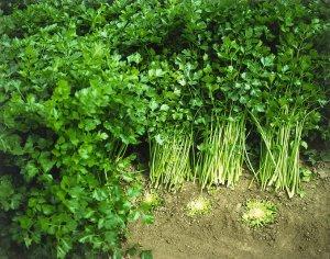 Особенности выращивания сельдерея листового