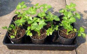 Сельдерей - выращивание и уход на даче