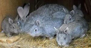 Разведение кроликов серый великан