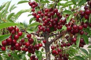 Дерево тургеневской вишни