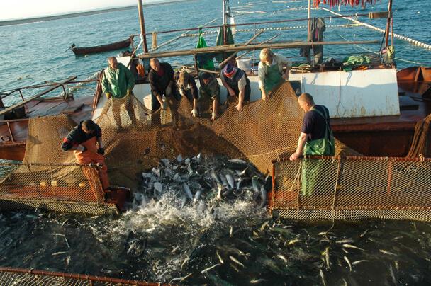 Россия наращиввает вылов сардины иваси и скумбрии