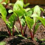 Технология выращивания столовой свеклы