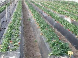Испанская технология выращивания земляники