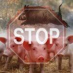 Африканская чума свиней атакует все новые хозяйства российских сельхозпроизводителей