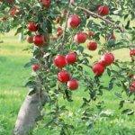Российские садоводы используют для защиты яблок от жары современную технологию