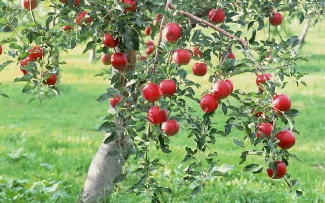 В Адыгее применяют новый способ защиты плодовых деревькев от жары