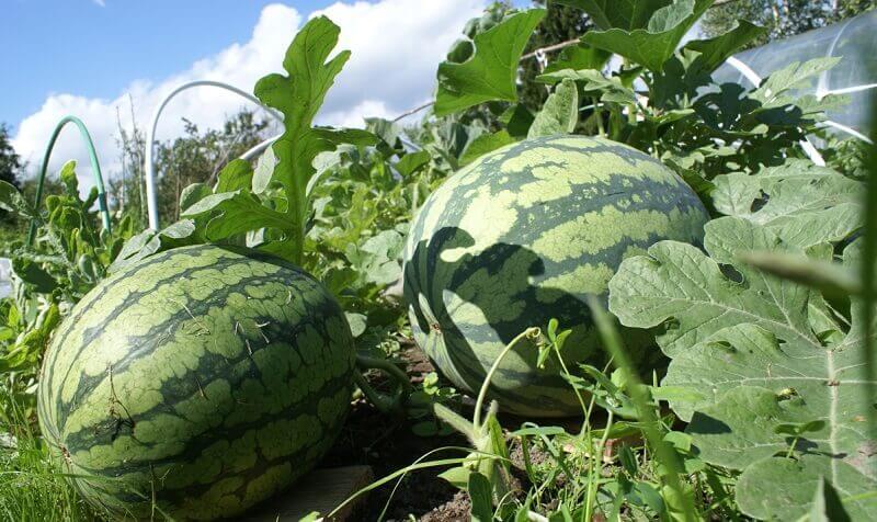 Выращивание бахчевых: общая информация и технология выращивания