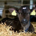 В Томской области начали идентификацию сельскохозяйственных животных по новым правилам