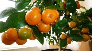 Мандарин в условиях домашнего выращивания