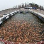 В Ленинградской области наращивают производство форели