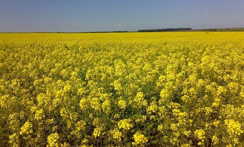 Горчица: использование и особенности посева в разные времена года