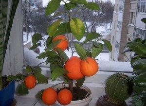 Выращивание грейпфрута