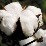 Хлопчатник: виды и особенности выращивания