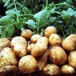 Крымские аграрии будут выращивать раннюю картошку для жителей Ярославской области, ярославцы позднюю для крымчан