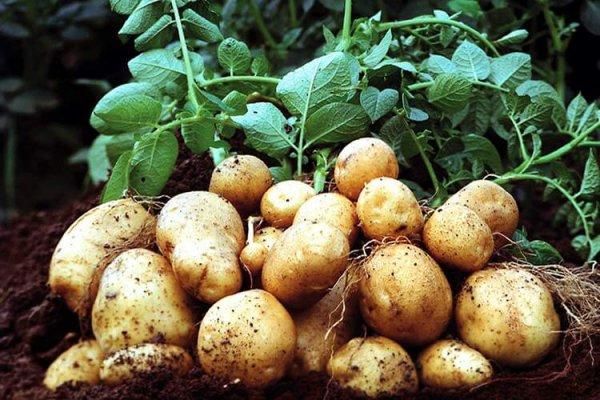 В Крыму будут выращивать ранний картофель для ярославцев