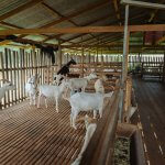 Козья ферма в Нижегородской области, получившая средства государственной поддержки, успешно функционирует