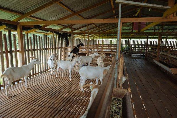 Грантовая поддержка на козьей ферме расходуется по назначению