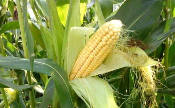 На Ставрополье увеличивают посевы кукурузы на зерно