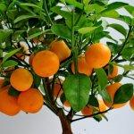 Мандарин: выращивание и уход в домашних условиях