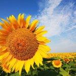 Семена подсолнечника: выращивание и хранение