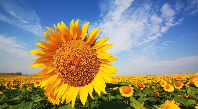 Семена подсолнечника: особенности выращивания и хранения