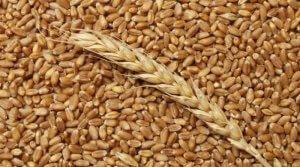 Пшеница кормовая