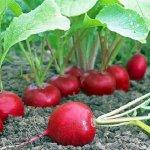 Выращивание редиса: технология посева и уход