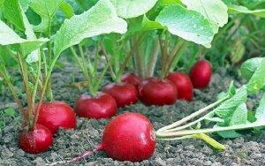 Выращивание редиса: технология сева и уход