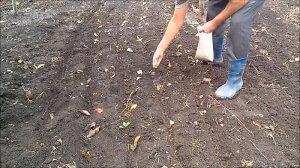 Посев горчицы в качестве сидерата