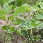Выращивание сои: история возделывания и хозяйственное значение