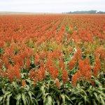 Сорго: полезные свойства и технологии выращивания