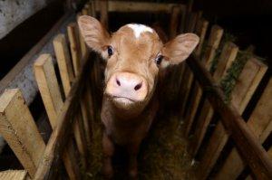 Белгородцы перенимали опыт нидерландских животноводов