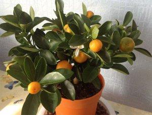 Выращивание мандарин в домашних условиях