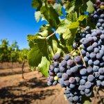 На Крымском полуострове виноградников станет в четыре раза больше