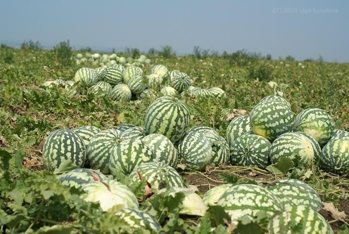 Выращивание арбузов в центральной россии 10