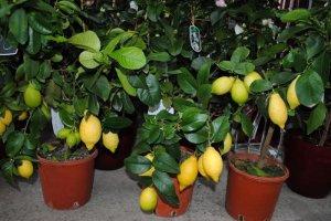 Выращивание лимона в комнатных условиях