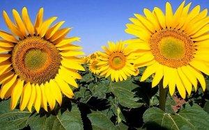 Выращивания подсолнечника в поле