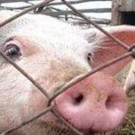 Один из пяти свиноводческих комплексов Омской области практически не защищен от АЧС