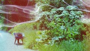 Борщевик Сосновского из опасного растения может превратиться в полезное