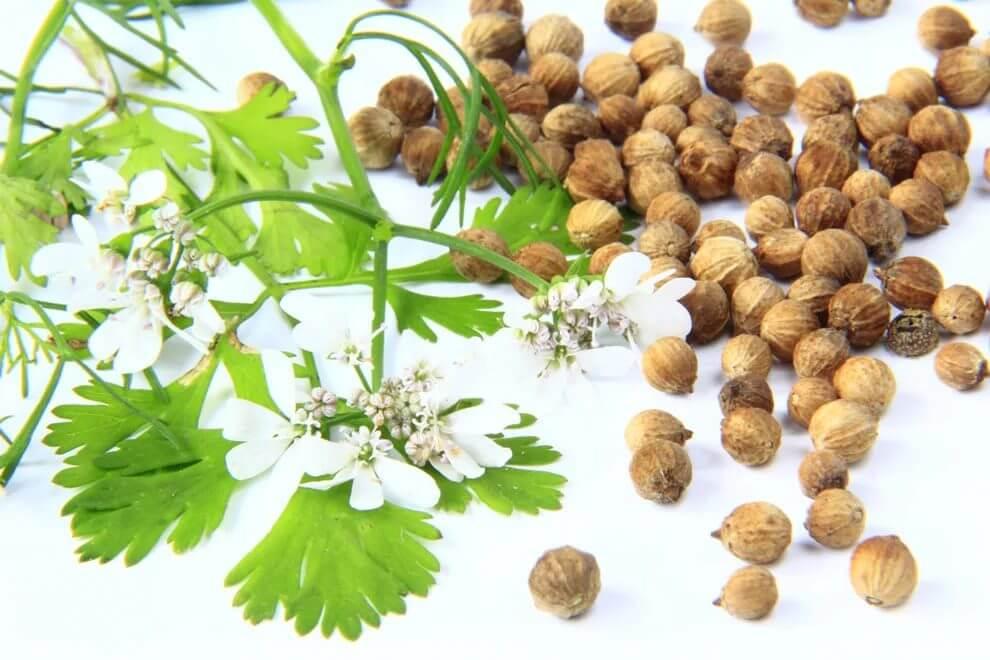 Семена и соцветия кориандра