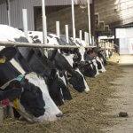 В Амурской области увеличивают поголовье крупнорогатых сельскохозяйственных животных